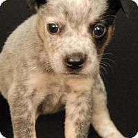 Adopt A Pet :: Sun Drop - Newland, NC