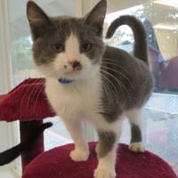 Adopt A Pet :: REX - Mt. Shasta, CA