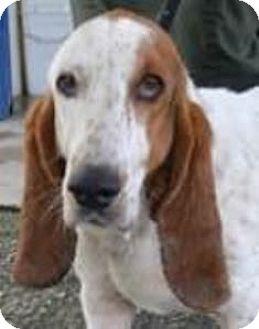 Basset Hound Dog for adoption in Charleston, South Carolina - Pretty Polly
