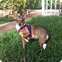 Adopt A Pet :: Star - Boca Raton, FL