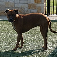 Adopt A Pet :: Bella - North Richland Hills, TX