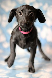 Chihuahua/Dachshund Mix Puppy for adoption in Waldorf, Maryland - Yepa