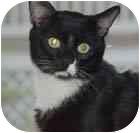 Domestic Shorthair Cat for adoption in Merrifield, Virginia - Penguin