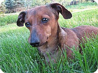 Dachshund Dog for adoption in Sioux Falls, South Dakota - Izzie (cart dog)