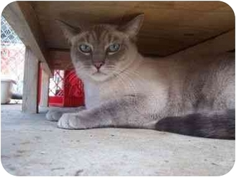 Siamese Cat for adoption in El Cajon, California - Citizen