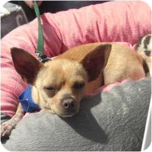 Chihuahua Mix Dog for adoption in Phoenix, Arizona - Quincy
