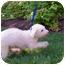 Photo 3 - Bichon Frise Dog for adoption in Oak Ridge, New Jersey - Noodles