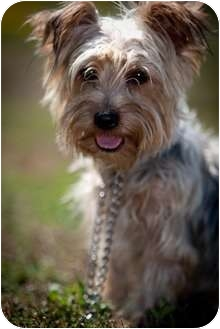 Yorkie, Yorkshire Terrier Mix Dog for adoption in Muldrow, Oklahoma - Griffin