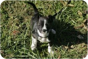 Boston Terrier Mix Puppy for adoption in Portland, Maine - Abby