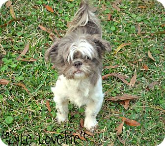 Shih Tzu Dog for adoption in Metairie, Louisiana - Lyle Lovette