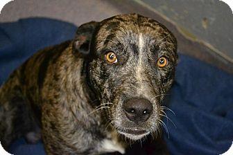 Australian Cattle Dog Mix Dog for adoption in Edwardsville, Illinois - Homer