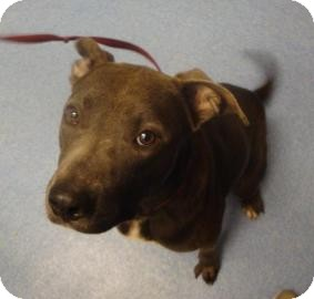 American Bulldog/American Pit Bull Terrier Mix Dog for adoption in Gainesville, Florida - Buddy