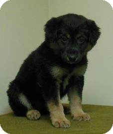 Collie/German Shepherd Dog Mix Puppy for adoption in Gary, Indiana - Sally