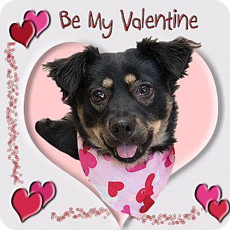 Sheltie, Shetland Sheepdog Mix Dog for adoption in Troy, Ohio - Penelope