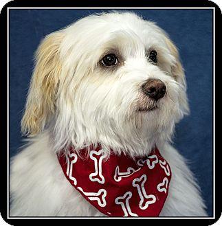 Maltese Mix Dog for adoption in San Diego, California - Beau