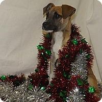 Adopt A Pet :: Kringle - Leesburg, VA