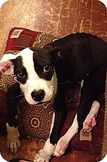 Boxer/Labrador Retriever Mix Puppy for adoption in knoxville, Tennessee - ACE