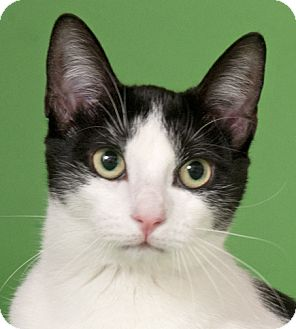 Domestic Shorthair Cat for adoption in Chicago, Illinois - Millie