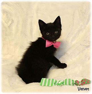 Domestic Shorthair Kitten for adoption in Welland, Ontario - Velvet