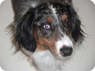 Dachshund Dog for adoption in Newburgh, Indiana - Bee- Pure