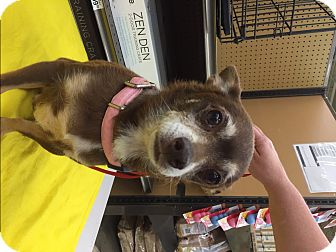 Chihuahua Mix Dog for adoption in Richmond, Virginia - Chester