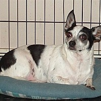 Chihuahua/Rat Terrier Mix Dog for adoption in Poplarville,, Mississippi - Chico