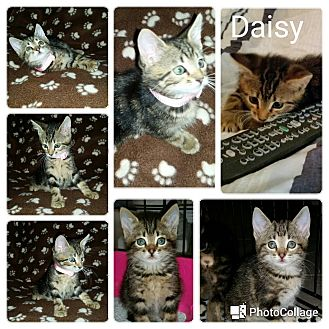 Domestic Shorthair Kitten for adoption in Arlington/Ft Worth, Texas - Daisy