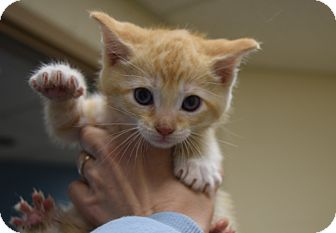 Domestic Shorthair Kitten for adoption in Bucyrus, Ohio - Tator Tots
