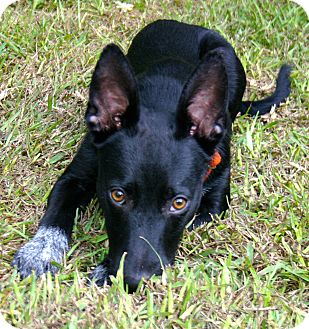 Australian Cattle Dog Mix Dog for adoption in Ft Myers Beach, Florida - Puppy Love!!
