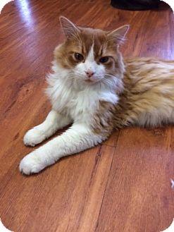 Domestic Mediumhair Cat for adoption in THORNHILL, Ontario - Jujube