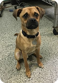 Pug/Beagle Mix Puppy for adoption in Oak Park, Illinois - Major
