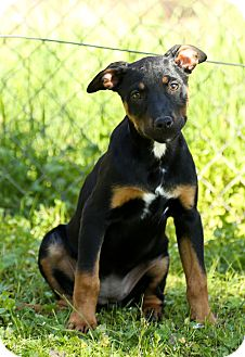 Doberman Pinscher/Labrador Retriever Mix Puppy for adoption in Auburn, California - Chase