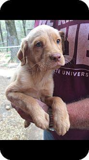 Golden Retriever/Labrador Retriever Mix Puppy for adoption in Goodlettsville, Tennessee - Pumpkin