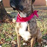 Boxer/Mixed Breed (Medium) Mix Dog for adoption in Miami, Florida - Capri