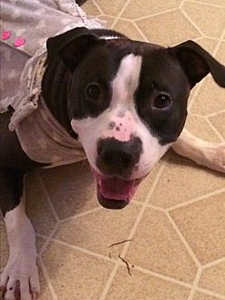 American Staffordshire Terrier Dog for adoption in Chicago, Illinois - Mickie