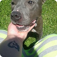 Pit Bull Terrier Mix Dog for adoption in Laingsburg, Michigan - Pal