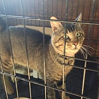 Domestic Shorthair Cat for adoption in OAKVILLE, Washington - Bubba