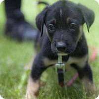 Adopt A Pet :: Puppy Magnum - Harvard, IL