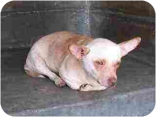 Chihuahua/Corgi Mix Dog for adoption in Van Nuys, California - Little Buddha
