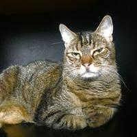 Adopt A Pet :: Mrs. Kitty - Chestertown, MD