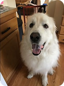 Great Pyrenees Dog for adoption in Gig Harbor, Washington - Mia - Courtesy Posting