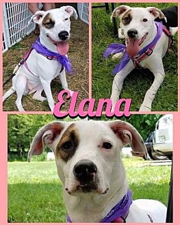 Pit Bull Terrier Mix Dog for adoption in New York, New York - ELANA