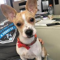 Adopt A Pet :: Bindi - Visalia, CA
