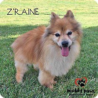 Adopt A Pet :: Z'Raine - Council Bluffs, IA