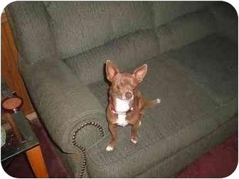 Chihuahua Dog for adoption in Grover, North Carolina - Sammy