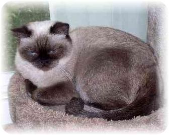 Exotic Cat for adoption in Davis, California - Leela