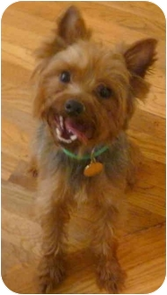 Yorkie, Yorkshire Terrier Dog for adoption in Greensboro, North Carolina - Chipper