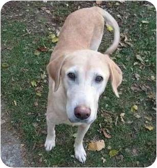 Labrador Retriever Mix Dog for adoption in Livonia, Michigan - Sandy