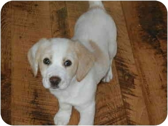 Spaniel (Unknown Type)/Beagle Mix Puppy for adoption in Hartford, Connecticut - JIngle