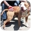 Photo 2 - American Pit Bull Terrier Mix Dog for adoption in Berkeley, California - Horton